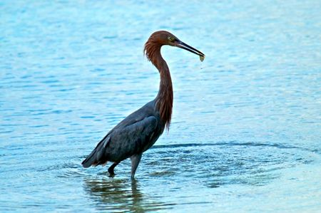 Reddish Egret Abaco National Park