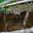 Sandpiper in the pond